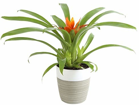 Costa Farms Flowering Bromeliad Indoor Plant Color-Grower's Choice, 12-Inches Tall, White-Neutral Décor Planter