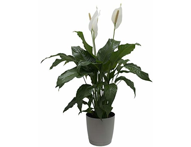 Costa Farms Peace lily, Spathiphyllum, Live Indoor Plant, 3-Feet Tall, Ships in Décor Planter, Fresh From Our Farm, Excellent Gift or Home Décor