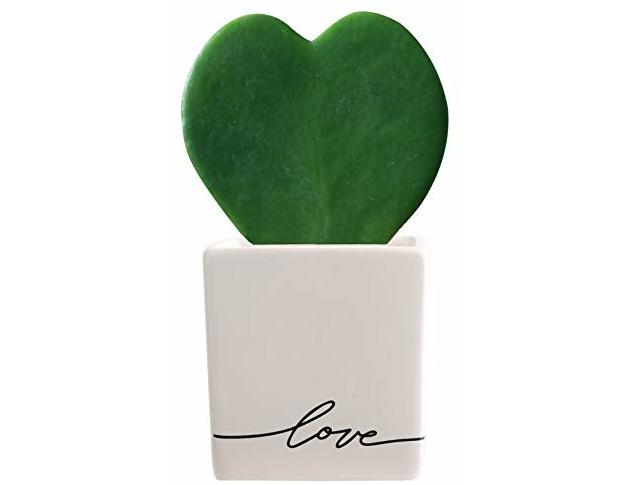 Costa Farms Live Hoya Heart, Succulent-Like Plant, Hoya Kerrii, in Love Balloon White Ceramic