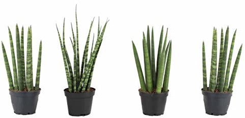 Costa Farms Sansevieria Cylindrica Succulent-Like Live Indoor Plant, 6-Inches Tall, Grower's Choice