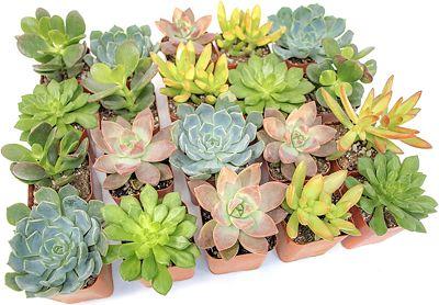 Purchase Altman Plants, Live Succulent Plants (20 Pack) at Amazon.com