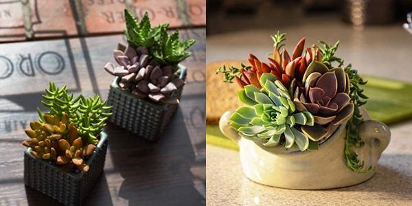 Purchase Altman Plants, Live Succulent Plants (20 Pack) on Amazon.com